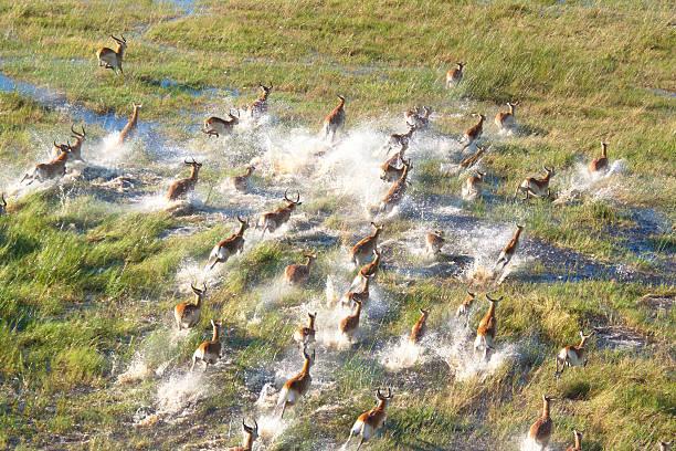 Herd of impala stock photo