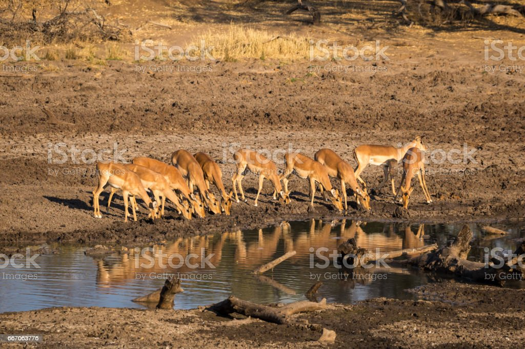 Herd of Impalas Drinking at Water Hole, South Africa, Mapungubwe National Park stock photo