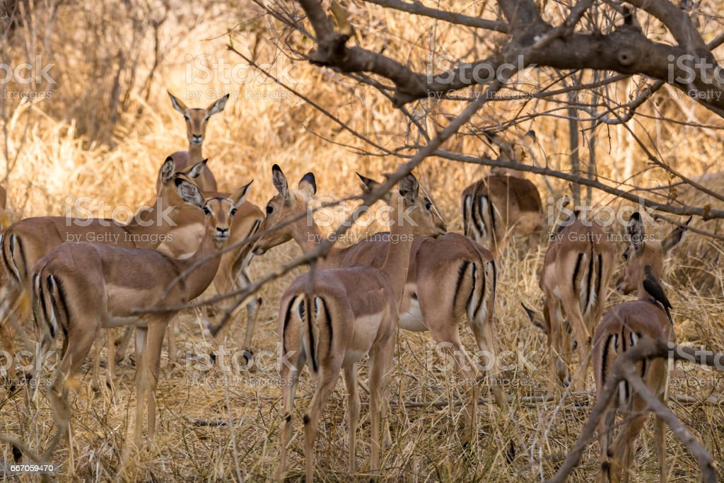 Herd of Impalas Hiding in Savannah of South Africa, Mapungubwe National Park stock photo