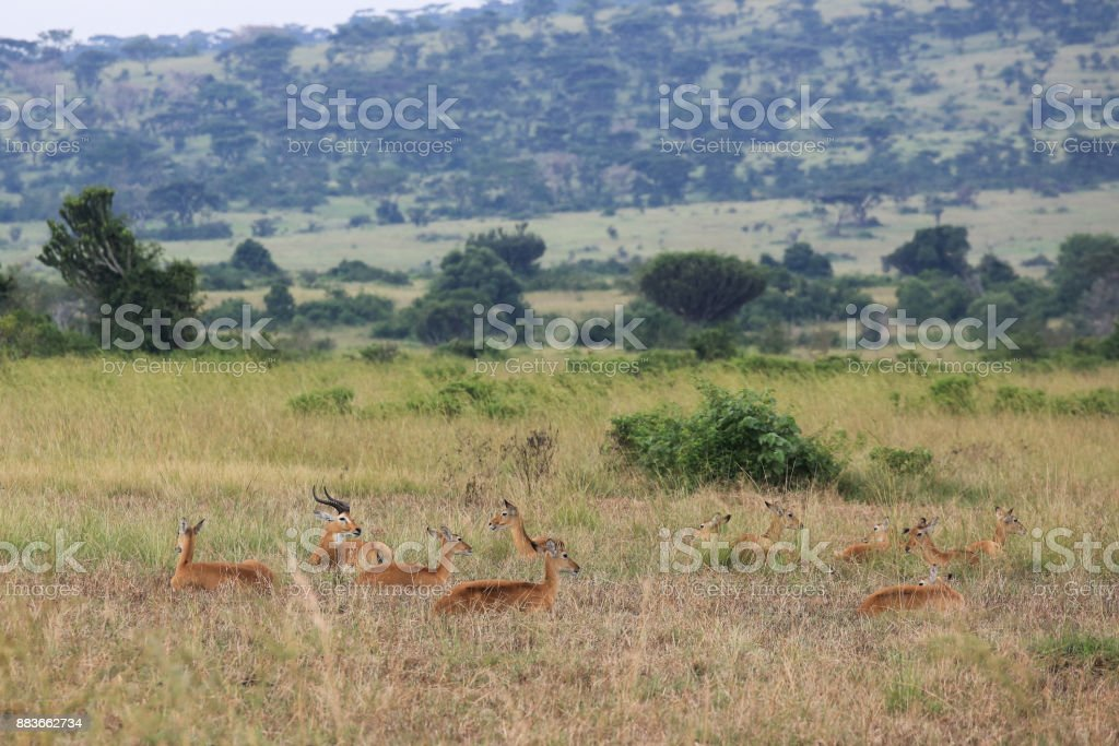 Herd of Kobs (Kobus kob) in the Queen Elisabeth National Park in Western Uganda stock photo