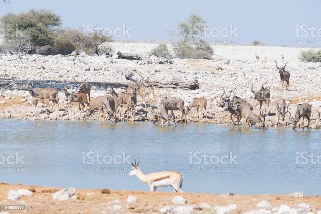Herd of Kudu drinking from Okaukuejo waterhole. Wildlife Safari in the Etosha National Park, majestic travel destination in Namibia, Africa. stock photo