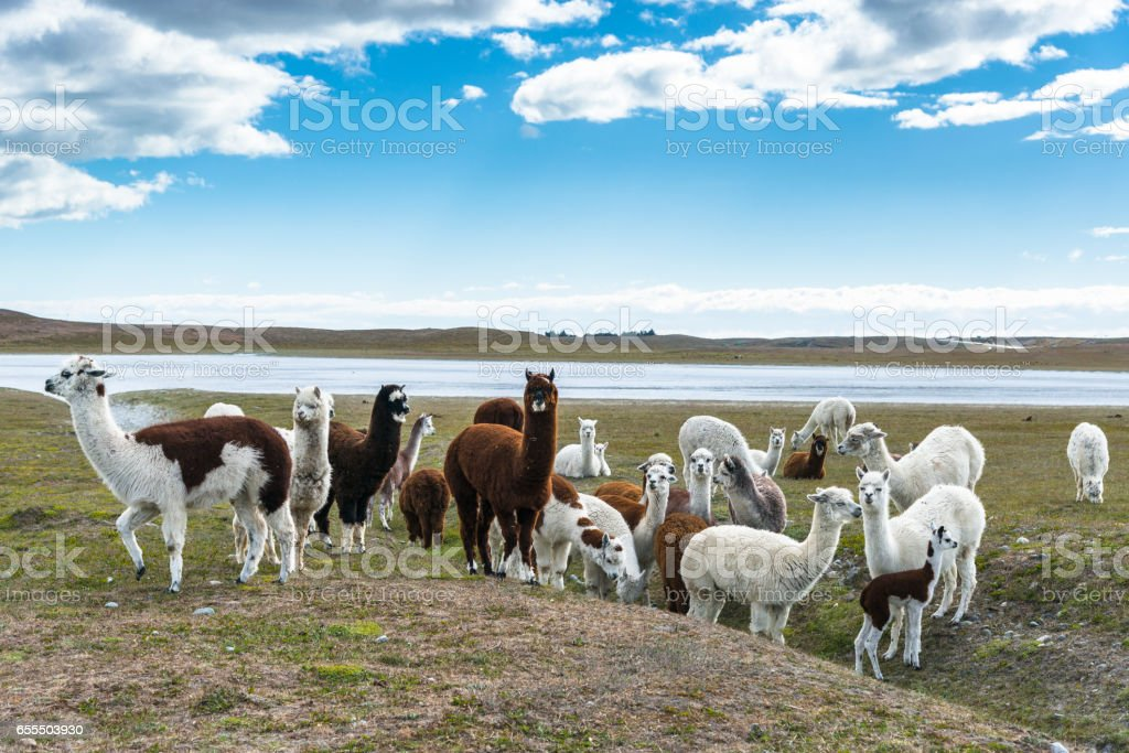 A herd of llamas. Chile stock photo