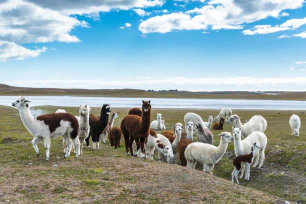 un rebaño de llamas. chile - alpaca fotografías e imágenes de stock