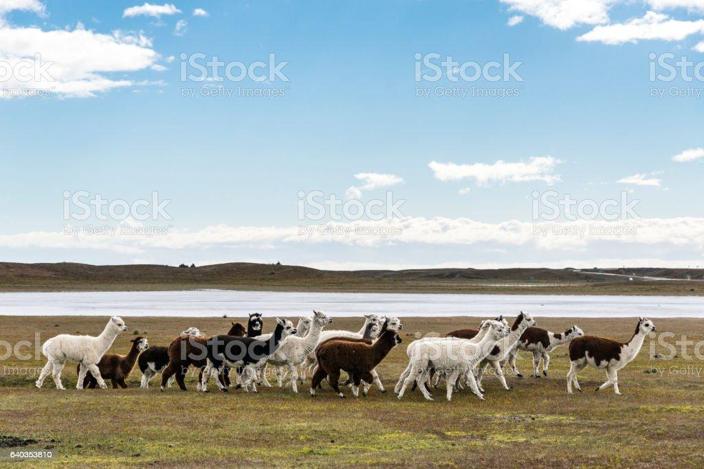 herd of llamas in Pampas stock photo