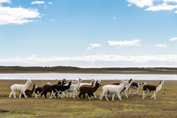 herd of llamas in pampas - alpaca fotografías e imágenes de stock