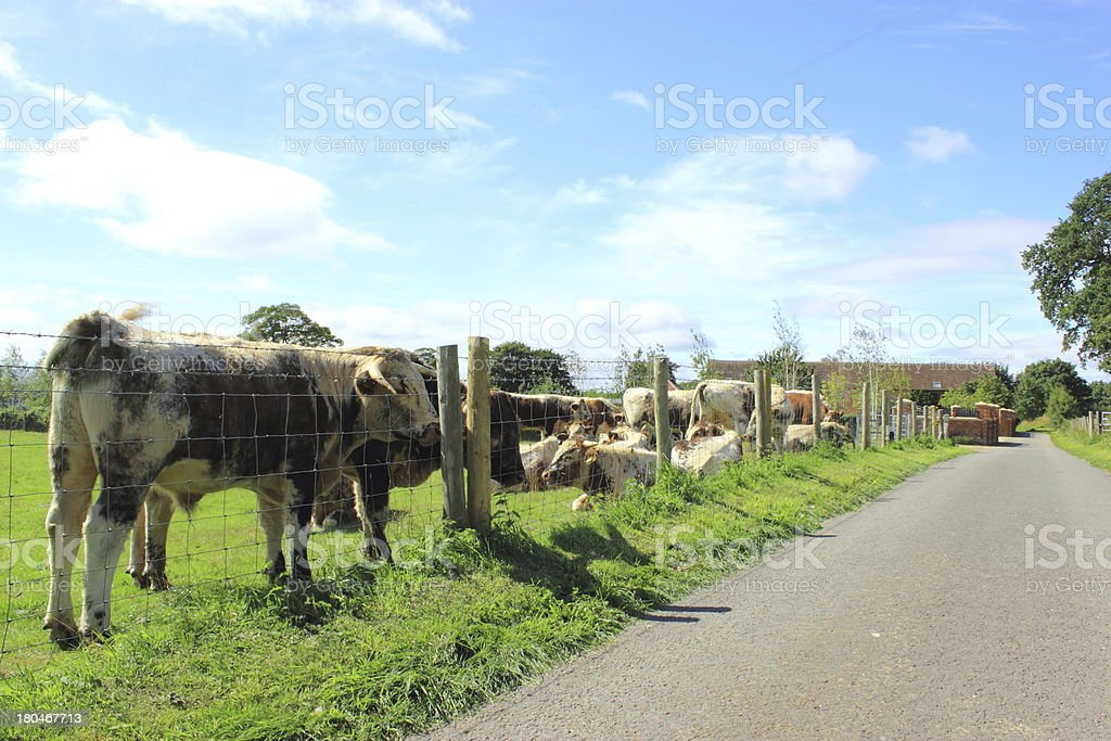 Herd of longhorn cattle by the road stock photo