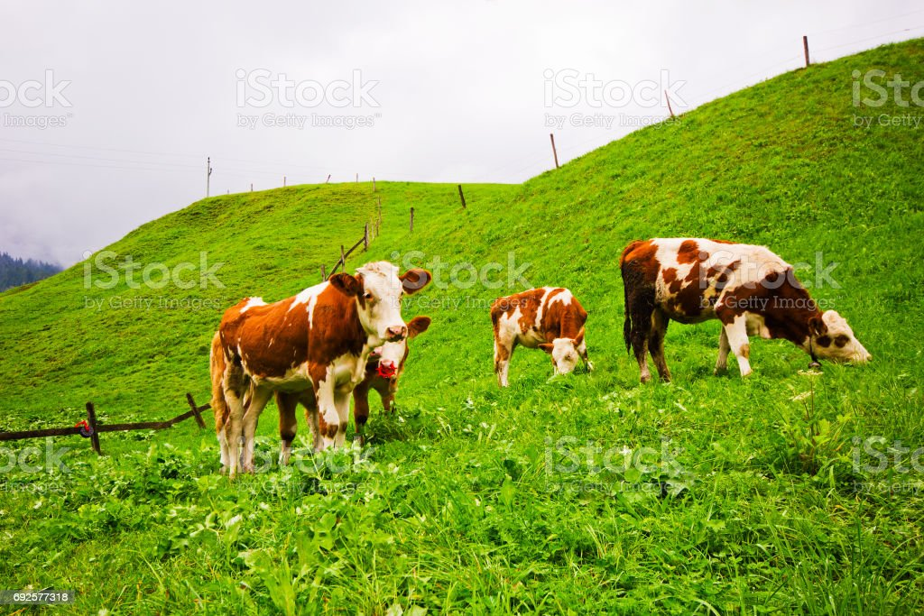 A herd of longhorn cows grazing on the alpine meadow on Tirol. stock photo