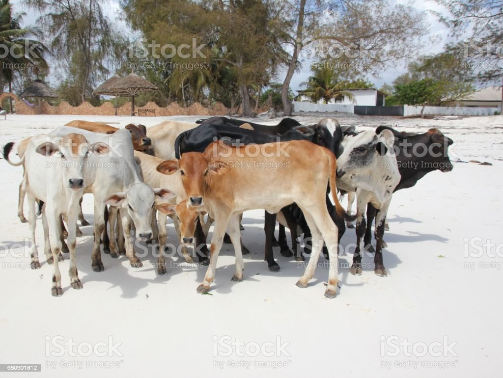 Herd of Maasai Cattles, Kiwengwa Beach, Zanzibar, Tanzania, Indian Ocean, Africa royalty-free stock photo