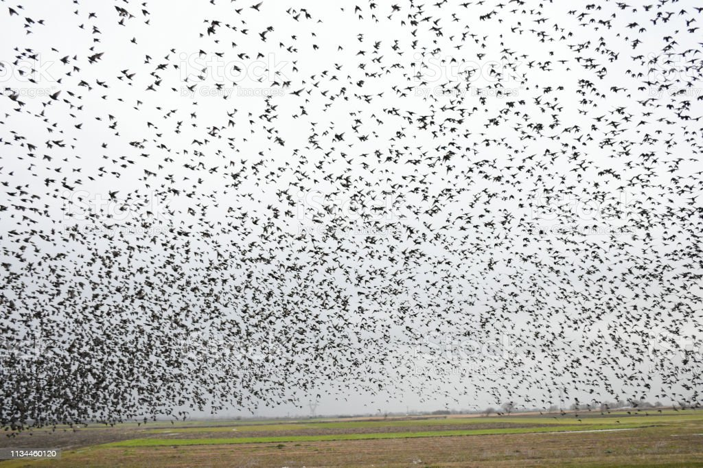 Herd of migratory starlings. They took a break when the rain...