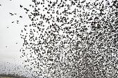 Herd of migratory starlings. They took a break when the rain brokeHerd of migratory starlings. They took a break when the rain brokeHerd of migratory starlings. They took a break when the rain broke