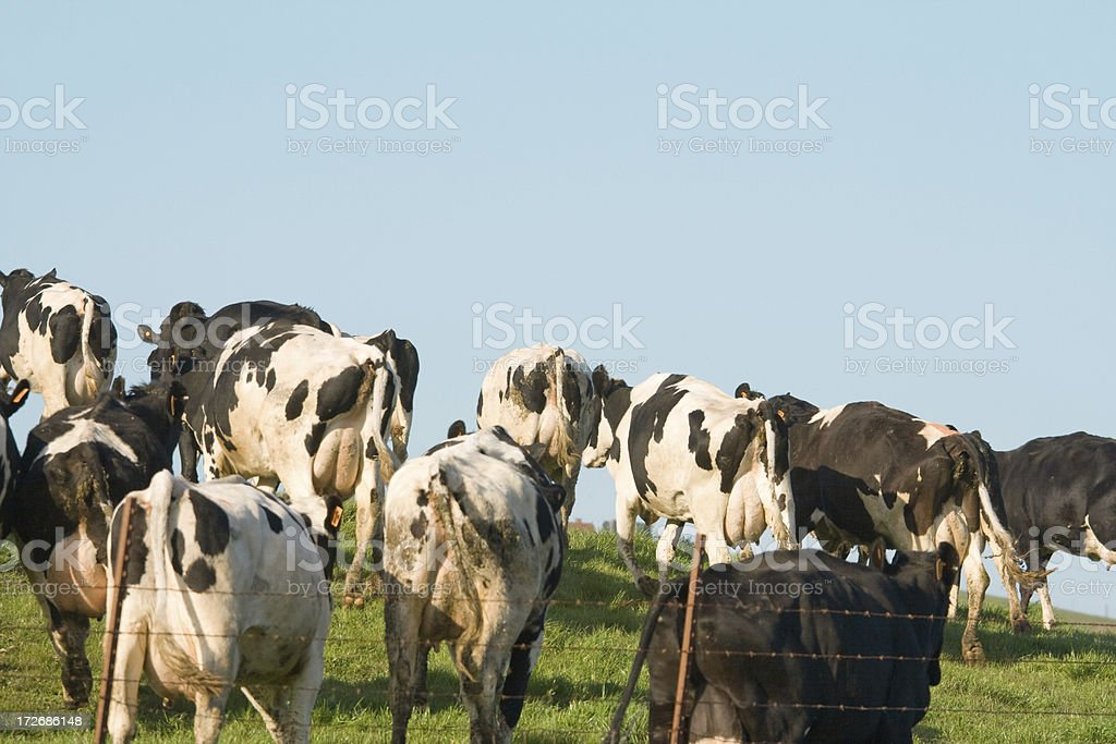 Herd of Milk Cows on a Hillside royalty-free stock photo