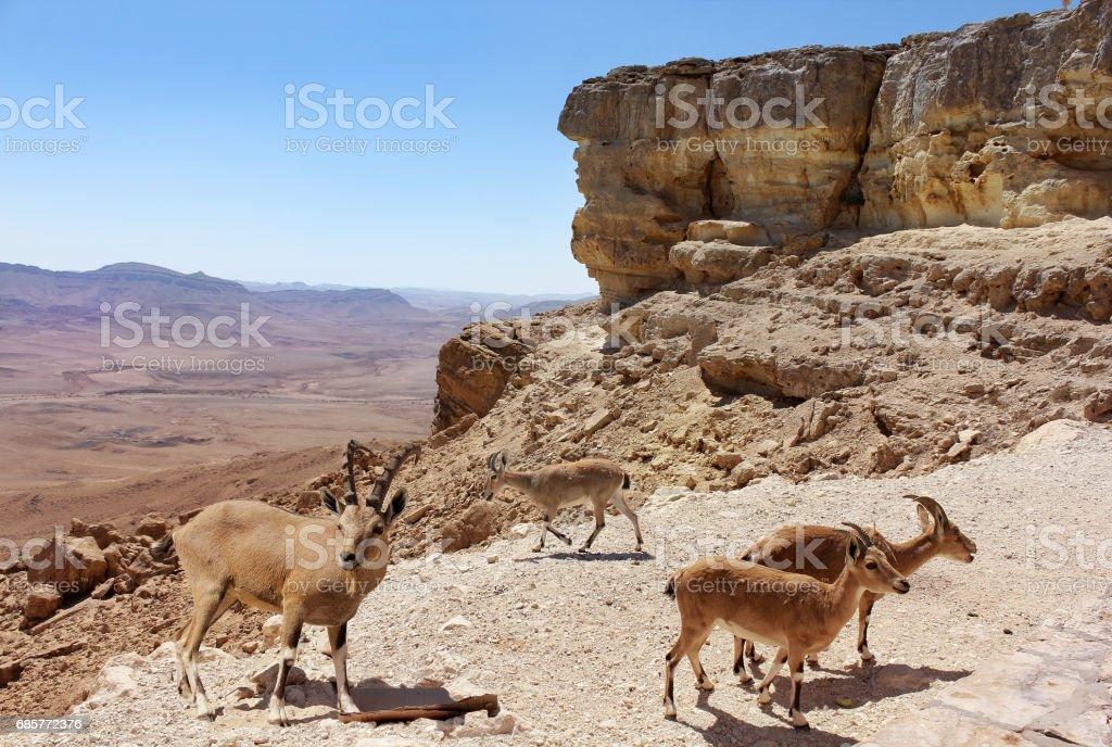 troupeau de chèvres de montagne photo libre de droits