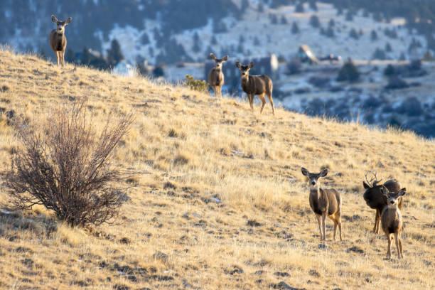 Herd of Mule Deer stock photo