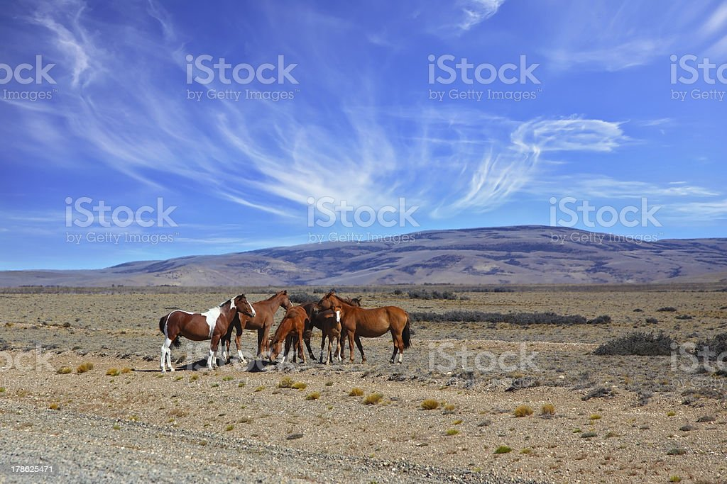 Herd of mustangs grazing in the Patagonian stock photo