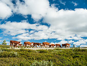 istock Herd of Norwegian Red cows walking freely on small road 497511322