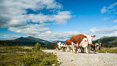 istock Herd of Norwegian Red cows walking freely on small road 497511432