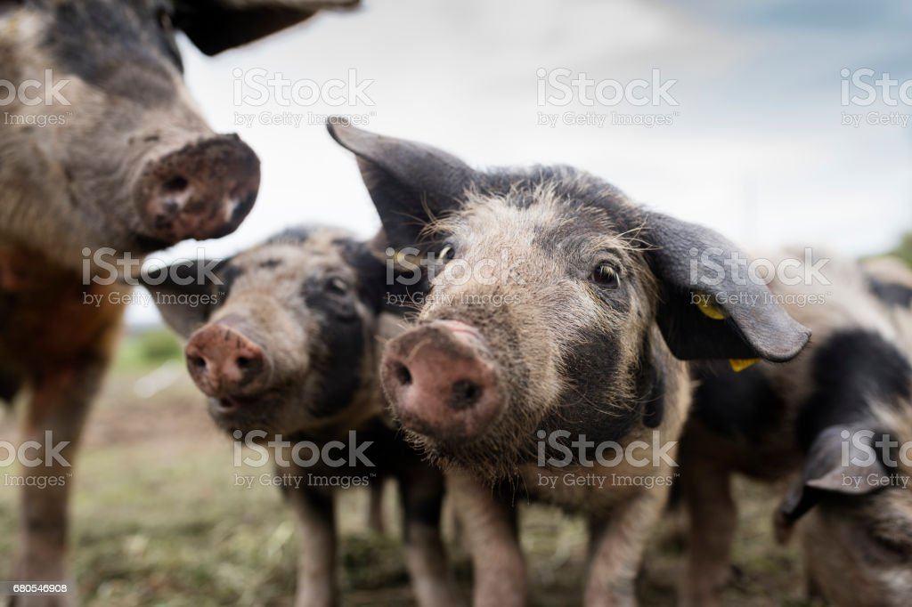 Herd of Organically Raised Pigs Enjoying Their Outdoor Life. stock photo