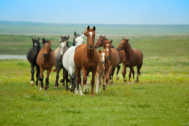 herd of plains horses running across grassy green field - west direction stock pictures, royalty-free photos & images