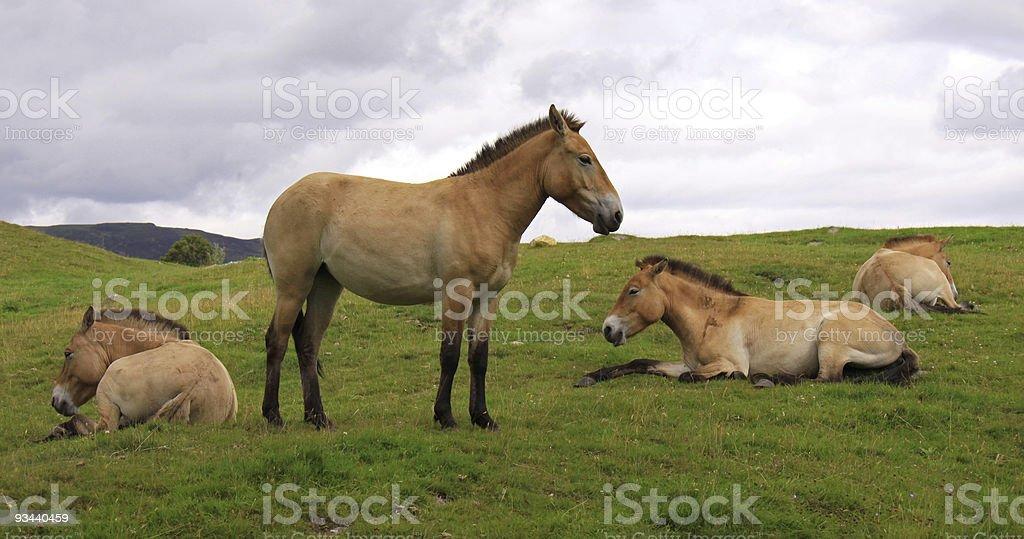 Herde von Pferden Przewalskipferd's Lizenzfreies stock-foto