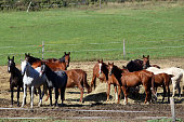 Group thoroughbred mares and foals sharing hay against green natural background