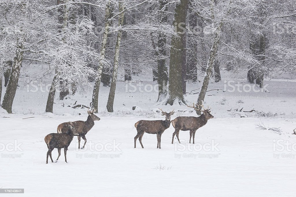 herd of red deer in winter stock photo