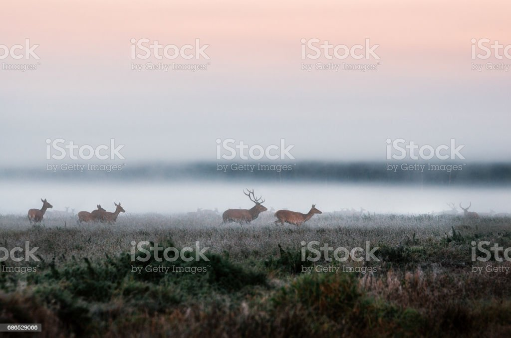 Herd of red deer on foggy field in Belarus. zbiór zdjęć royalty-free