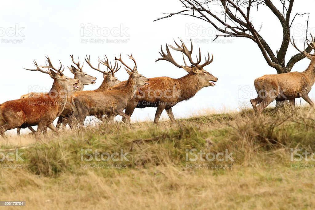 herd of red deers on the hill stock photo