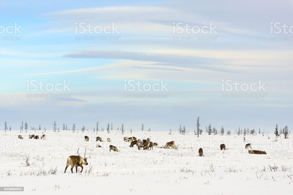 Herd of reindeer grazes in the tundra nearby of polar circle at a cold winter day stock photo