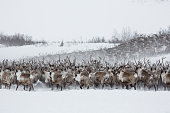 Herd of reindeer moving from right to left to comeback on a upper right of the frame. cloudy day in a tundra.