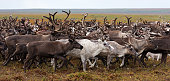 Reindeer grazing in the snow during winter in Northern Norway. The Reindeer are living in a natural environment.