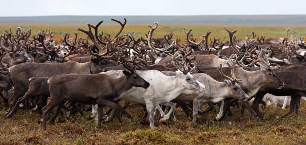 北極ツンドラの年間の移行にトナカイの群れ。 - ツンドラ ストックフォトと画像