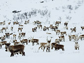 A herd of more than 200 reindeers observe with curiosity the strangers who have come to disturb his peaceful day in a remote location of Norway,  while the heavy snow keeps falling without truce.