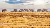 Side view of seven adult elephants in the distance, walking across the frame from right to left, surrounded by heat haze. The grassy plain is dry and brown, the climate is hot and dry, and the animals are backlit.