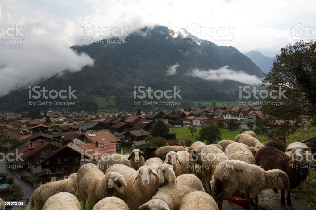 Herd of sheep above Wilderswil village, swiss alps stock photo