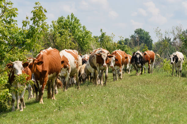 Herd of sheep and cows stock photo