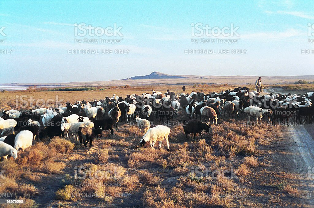 Herd of sheep and goats in the desert. stock photo