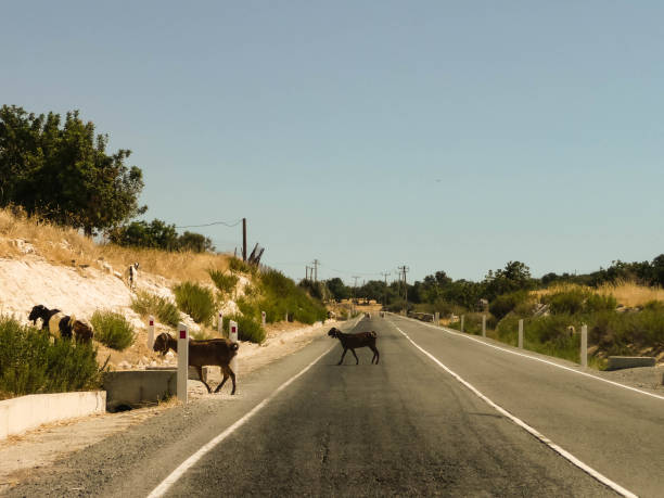 A herd of sheep crossing the road stock photo