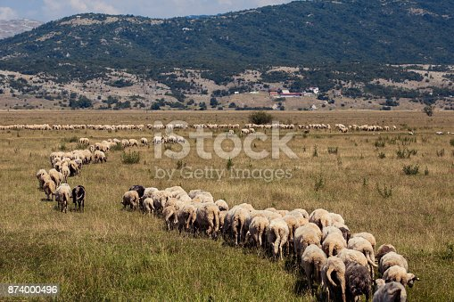 herd of sheep following their leader