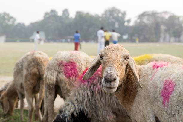 Herde von Schafen, die Streifen durch ein Feld neben einem Spiel Cricket – Foto