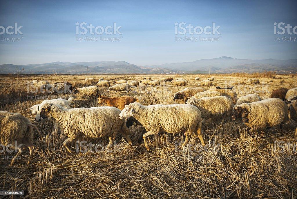 Herd of Sheep Grazing Corn Field on Sunset royalty-free stock photo