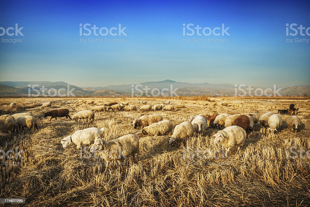 Herd of Sheep Grazing Corn Field on Sunset royalty-free stock photo
