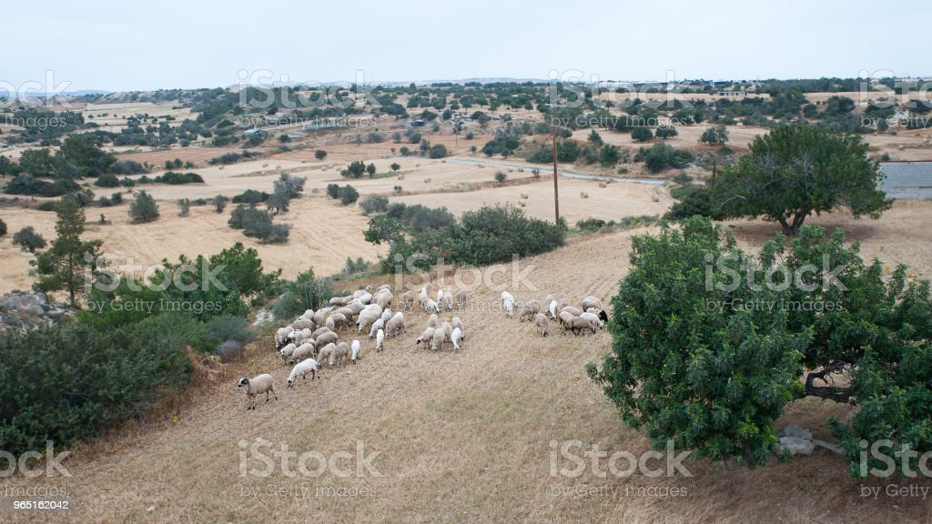 Herd of sheep grazing in a meadow zbiór zdjęć royalty-free