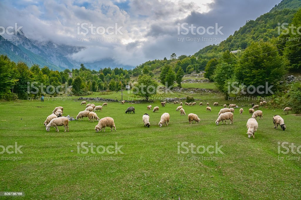Herd of sheep grazing in the mountains stock photo