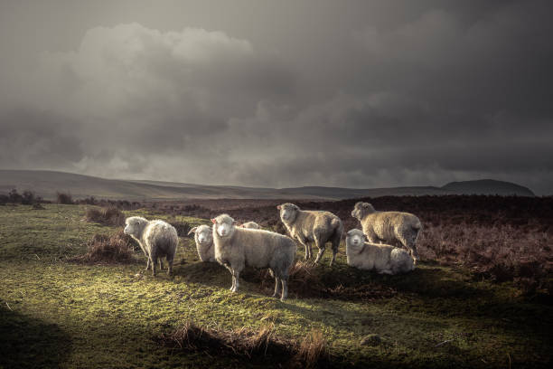 Herd of sheep grazing in the wild with thick coats, with distant hills and dark moody sky a herd of sheep with thick wooly coats and looking at camera, grazing in the hills in County Antrim, Northern Ireland, under a dark moody sky with low winter sunlight herbivorous stock pictures, royalty-free photos & images