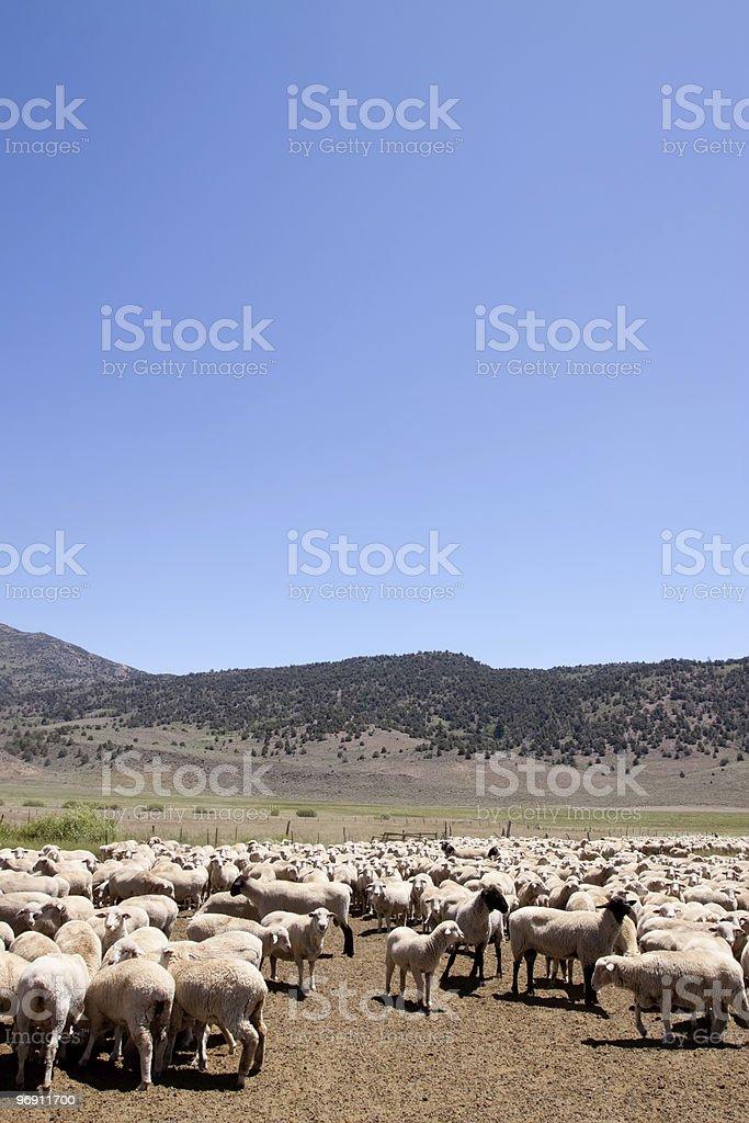 Herd of sheep grazing royalty-free stock photo