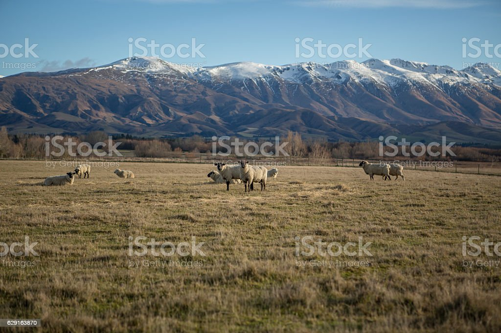Herd of sheep in meadow with snowcapped mountain in background stock photo