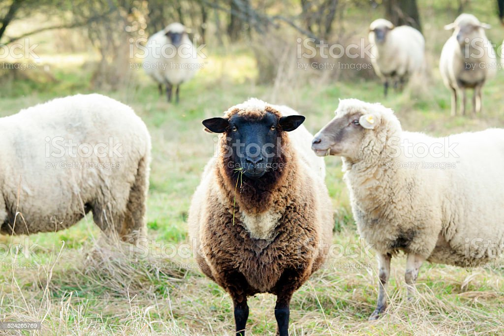 Herd of sheep in the field stock photo