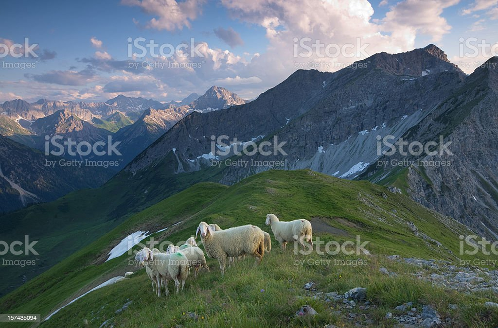 herd of sheep in the lechtaler alps royalty-free stock photo