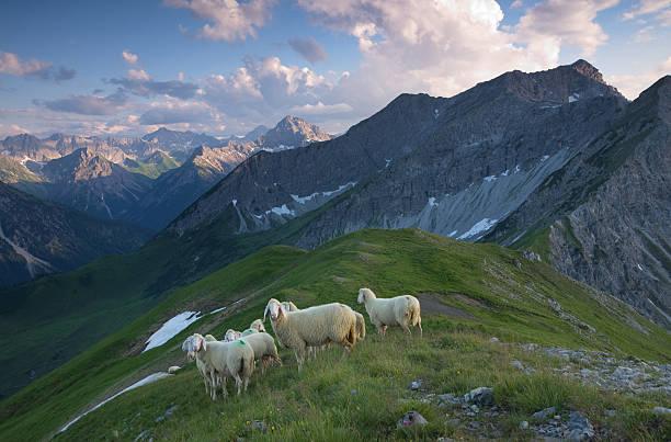Herde von Schafen in der lechtaler Alpen – Foto