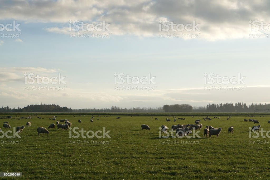 Herd of sheep in the meadow with beautiful landscape background stock photo